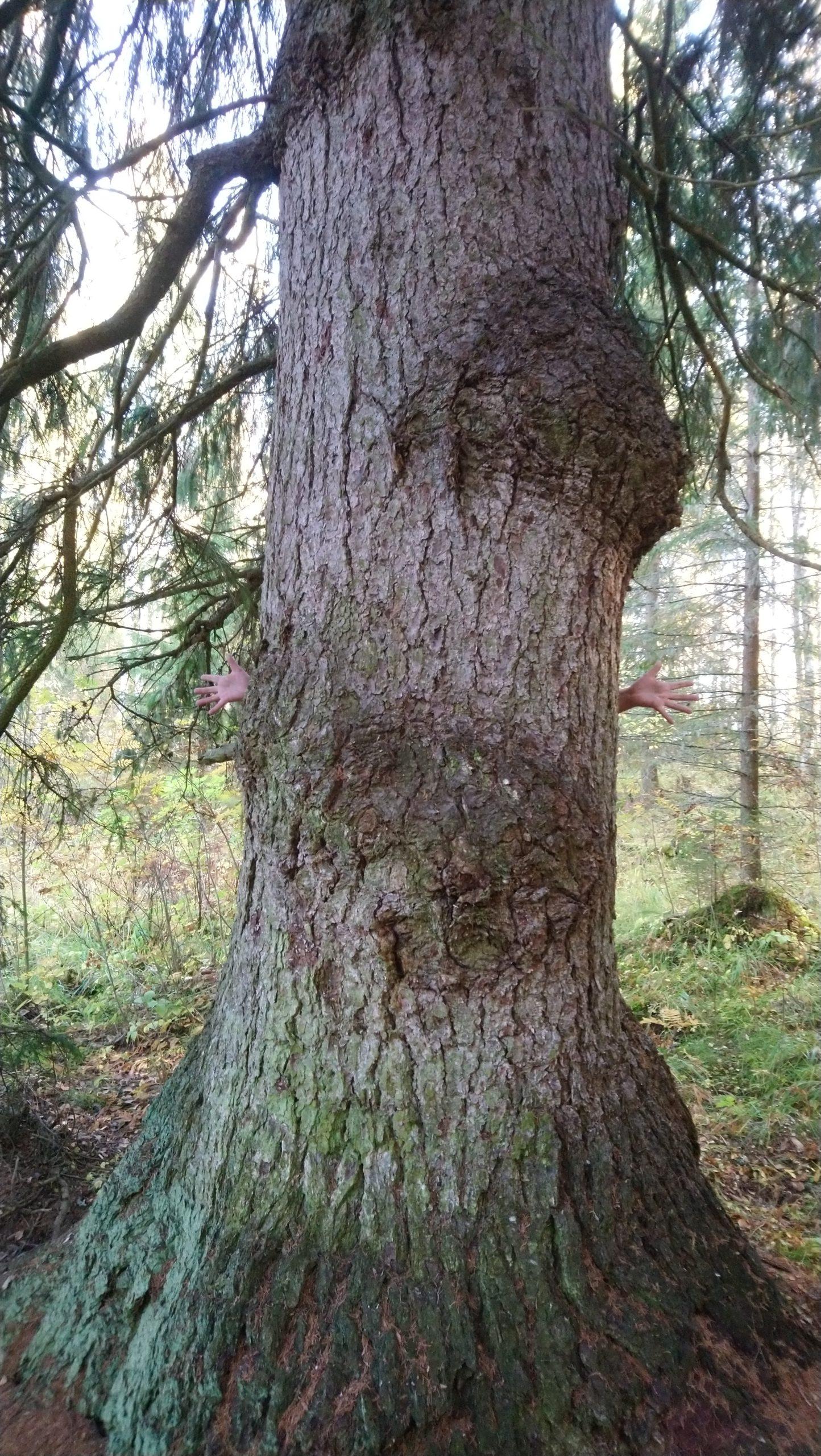 Murtolahdessa kasvaa kuusi jonka kuutio tilavuudeksi on arvioitu yli 5 kiintokuutiometriä.
