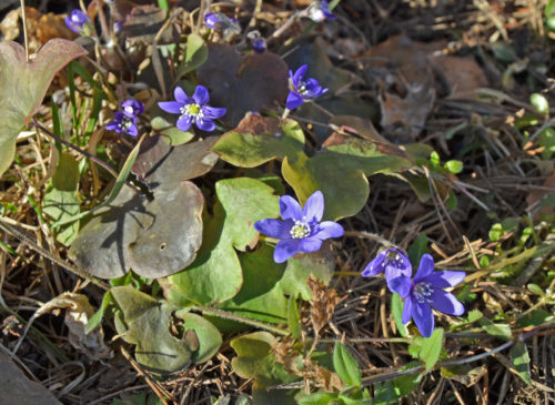 Sinivuokko ehti kukkaan ensimmäisenä.
