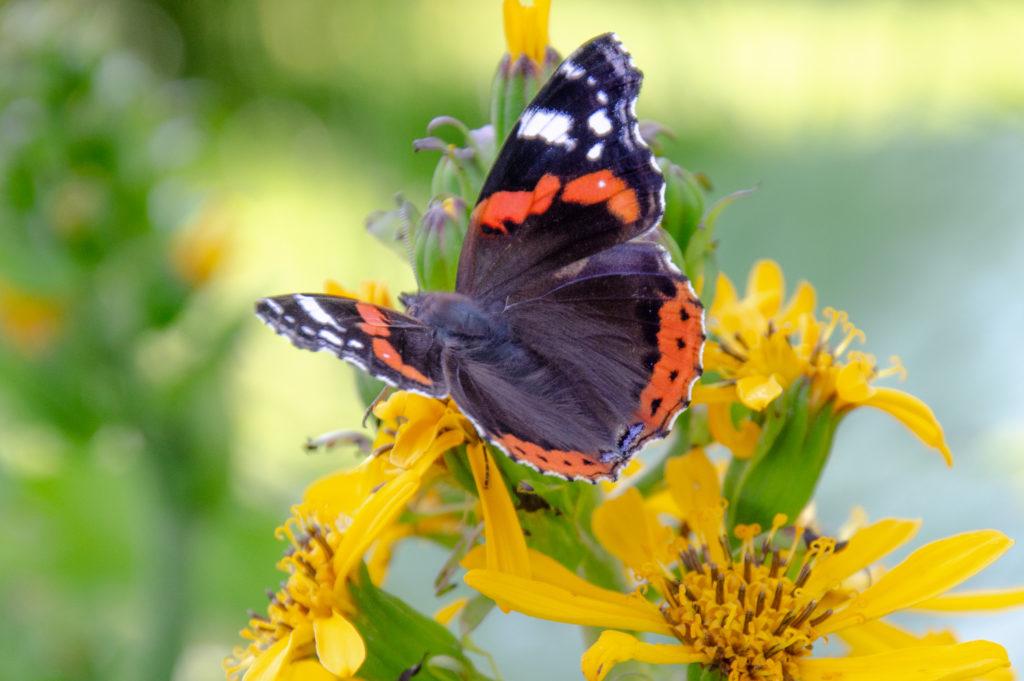 Amiraali perhonen elokuun kukasssa.